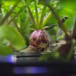 La NASA cosecha los primeros rabanitos cultivados en el espacio